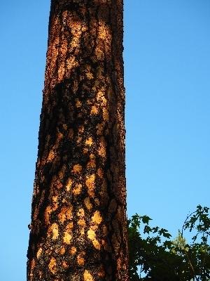 Auf dem Bild ist ein blauer Himmel mit einem dieser wunderbaren Sequoias zu sehen